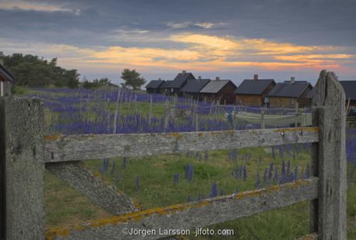 Djupvik Gotland Sweden   Blue weed
