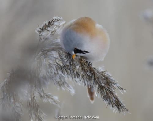 Skäggmes Panurus biarmicus Tyresö Stockholm Sverige Fågel mesar