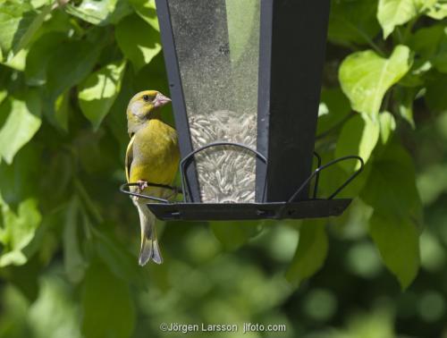 European Greenfinch Carduelis chloris Stockholm Sweden birds