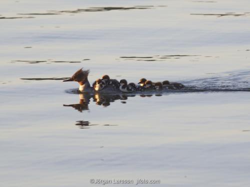 Goosander  Mergus merganser with babybird  chicks Trosa Sodermanland Sweden birds