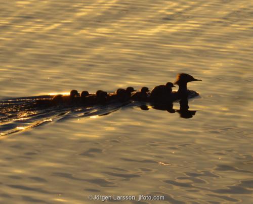 Goosander  Mergus merganser with babybirds chicks Trosa Sodermanland Sweden