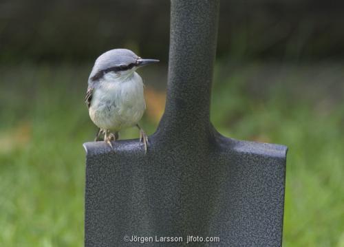 Nuthatch  Stockholm Sweden birds