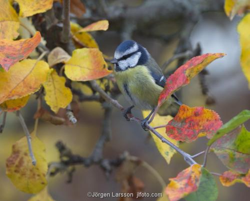 Blåmes Parus Caerleus Stockholm Sverige fåglar