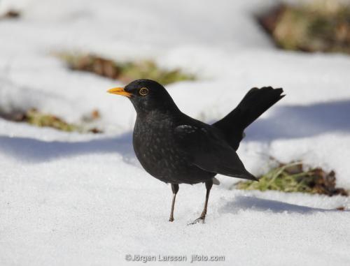 Blackbird Turdus merula Stockholm Sweden