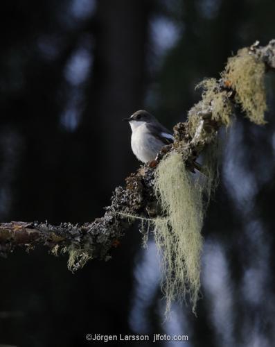 Svartvit flugsnappare Katrineholm Södermanland Sverige Fåglar