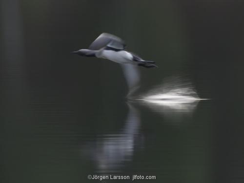 Storlom gavia arctica   Katrineholm Södermanland Sverige fåglar