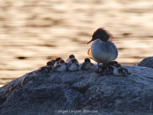 Storskrake med ungar Mälaren Södermanland Sverige fåglar
