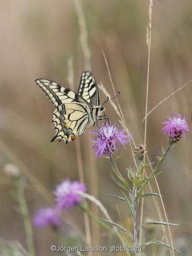 Makaonfjäril Papilio machaon Nävelsö  Småland Sverige fjärilar