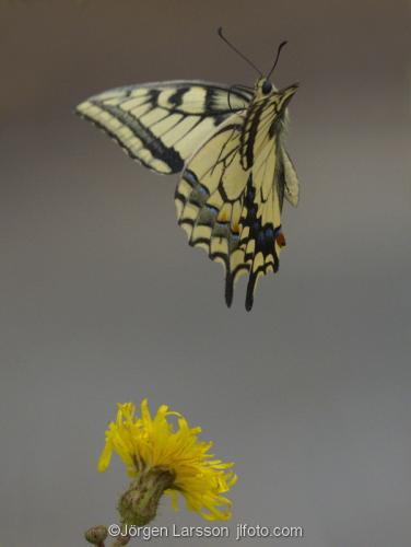 Navelso Smaland Sweden Swallowtail Papilio machaon
