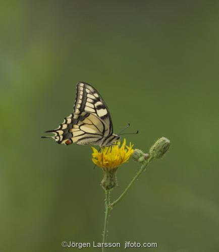 Makaon Papilio machaon Nävelsö Småland Fjäril fjärilar