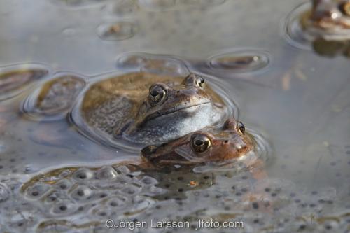 Grodlek Södermanland Sverige grodlek vår amfibie groda grodor