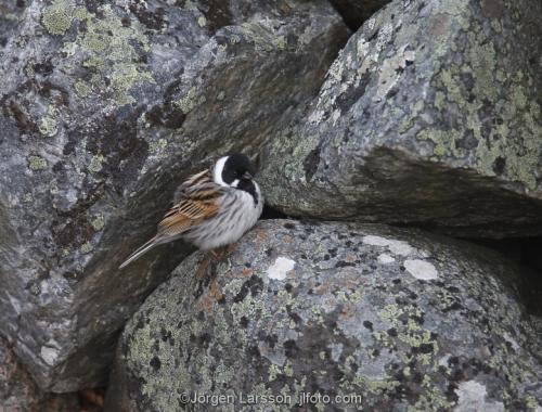 Common reed bunting  Emberiza schoeniclus Smaland Sweden