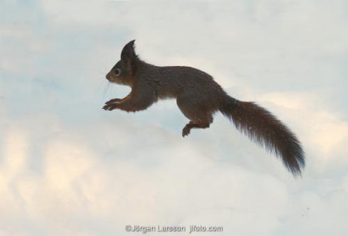 Squirrel   Sciurus vulgaris in winter  Stockholm Sweden