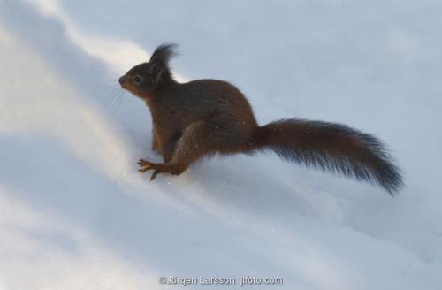 Ekorre springer i snön Södermanland Sverige