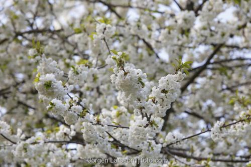 Blommande körsbärsträd Södermanland Sverige vår