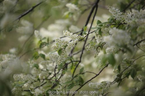 Blommande hägg vår träd  Sodermanland Sweden