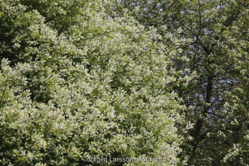 Blommande hägg Södermanland Sverige vår