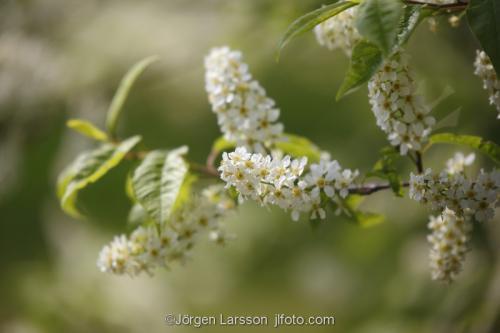 Blommande hägg vår träd  Södermanland Sweden