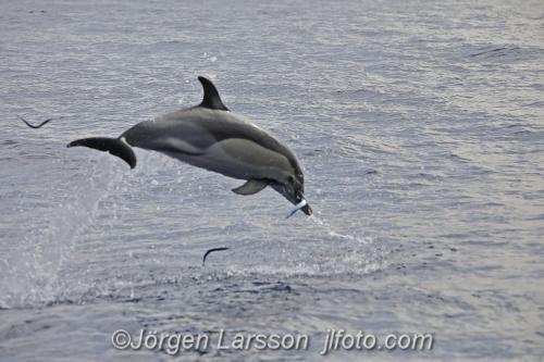 Sadel delfin Common dolphin Madeira Delfiner