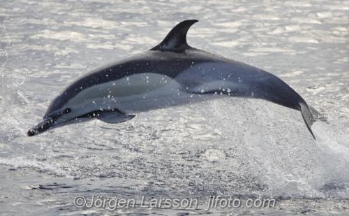Common dolphin Madeira