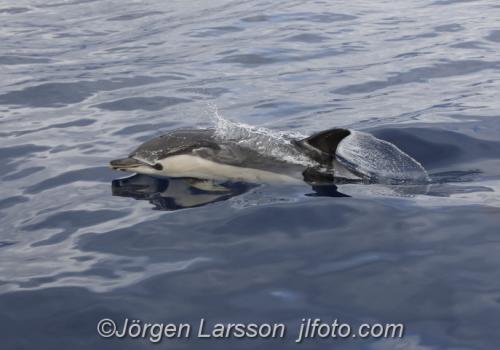 Sadel delfin Common dolphin Madeira