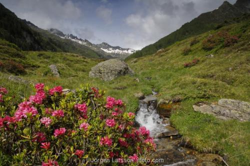 Dolomites Italy alpenrosen