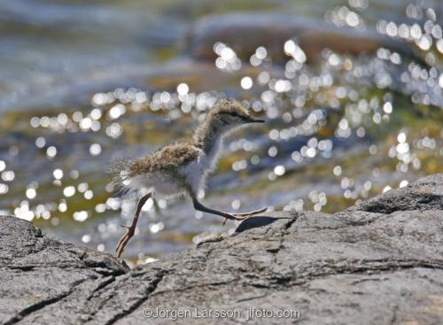 Common Sandpiper arctic_hypleucos  babybirdSmaland Sweden