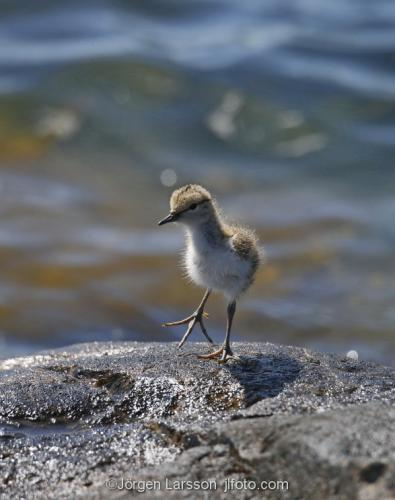 Common Sandpiper arctic_hypleucos  babybird Smaland Sweden