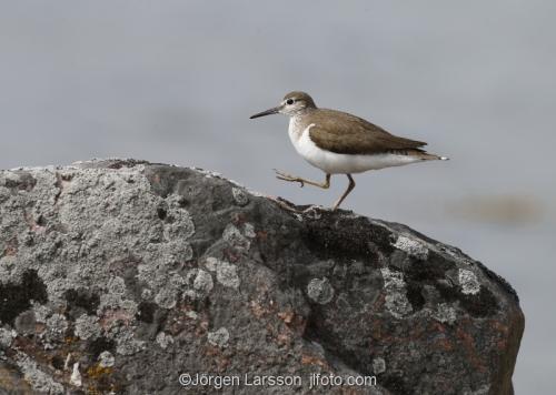 Common Sandpiper arctic_hypleucos  Smaland Sweden
