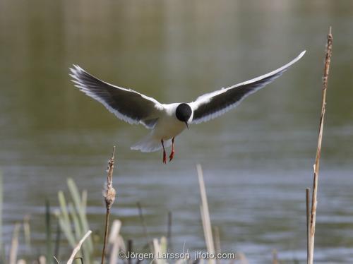 Little Gull Larus minutus   Boden Vasterbotten Sweden