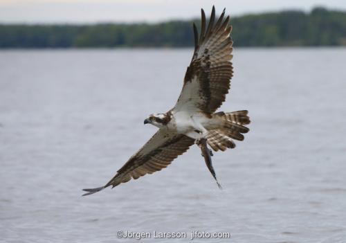 Fiskgjuse Mälaren Rovfågel
