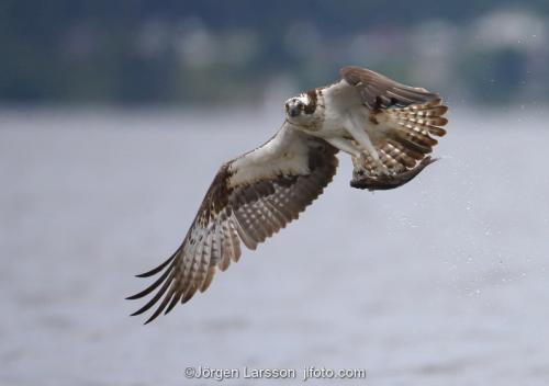 Osprey   Raptors  Bird of prey Malaren Sweden Pandion haliaetus