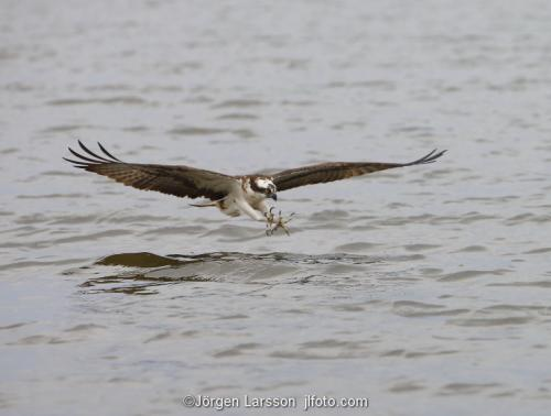 Osprey fishing. Lake Malaren Sodermanland Sweden