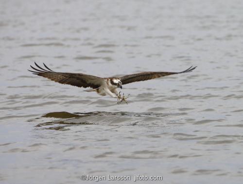 Osprey Raptors Bird of prey Maelaren Sweden