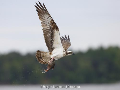Osprey Raptors Bird of prey Maelaren Sweden