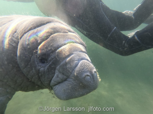 Florida Manatee  Crystal River USA   snorkling