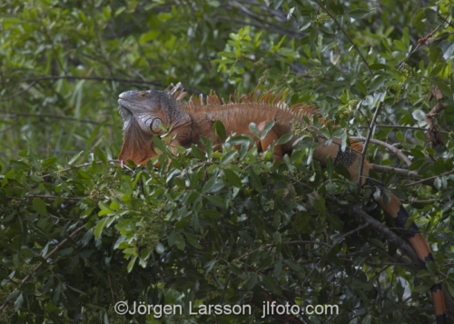 Green Iguana Everglades city Florida USA  Leguan, Ödla