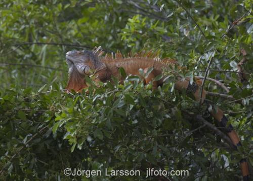 Green Iguana Key West Florida USA  Lizzard reptil ödla