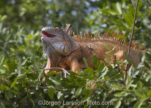 Green Iguana Everglades city Florida USA  Lizard