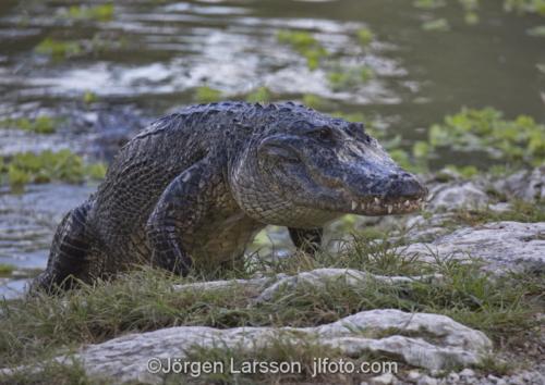 American aligator Everglades Florida USA