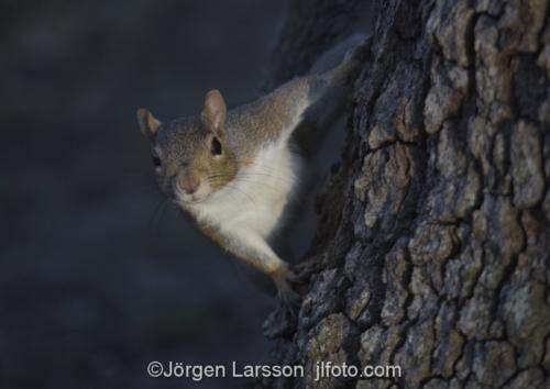 Squirrel Crystal River Florida USA  Ekorre