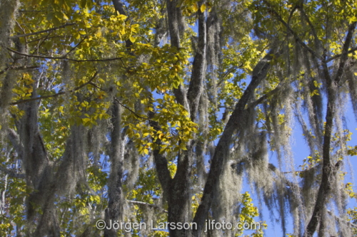 old man's beard, spanish moss (Tillandsia usneoides) Crystal River Florida USA  lava  träd
