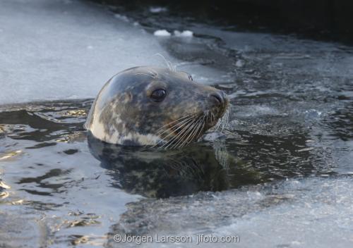Grå säl Halichoerus grypus  Östersjön Sverige