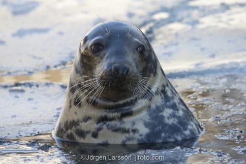 Gråsäl   Halichoerus grypus  sälar Östersjön Sverige