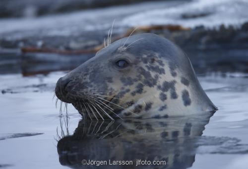 Gråsäl  Halichoerus grypus  säl sälar Östersjön Baltic sea  Sverige Sweden