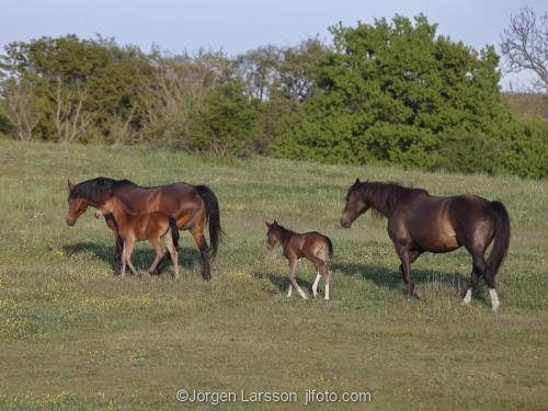 Horses with foal Skane Sweden