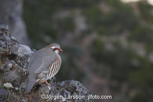 Madeira  Portugal Red-legged Partridge (Alectoris rufa) at Pico do Arieiro Klippduva