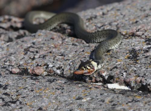 Snok med fångst orm ormar Småland Sverige