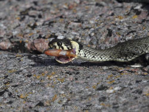 Grass snake eating a fish  Navelso Smaland Sweden