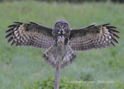 Great Grey Owl, Strix nebulosa, Dalarna Sweden